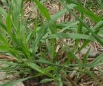 Crabgrass growing in lawn