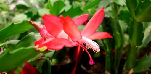 Red flower on Holiday Cactus