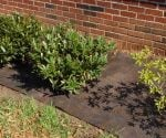 Landscape fabric installed around shrubs in house foundation bed.