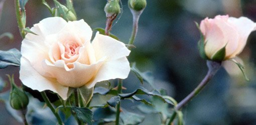 'New Dawn' Rose Not Blooming