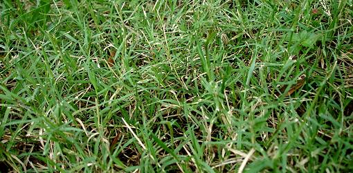 How To Control Bermuda Grass Today S Homeowner