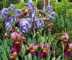 How to Divide and Transplant Perennials