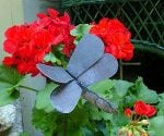 How to Grow Geraniums Over the Winter