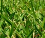 Applying 'Weed and Feed' Products to St. Augustine Grass