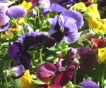 Pansies blooming