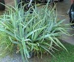 How to Divide Aloe Vera and Other Succulents