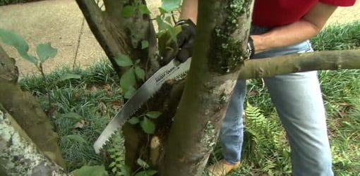Using a pruning saw to remove a limb from a tree.