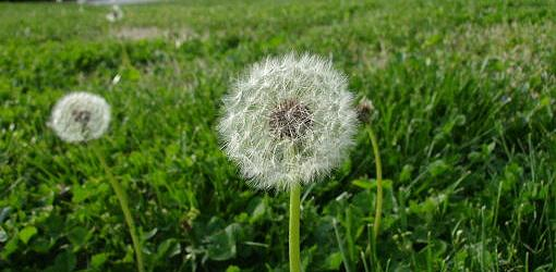 How To Control Dandelions In Your Yard