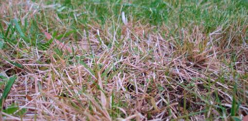 Grass turning brown from drought.