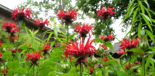 Red bee balm flowers.