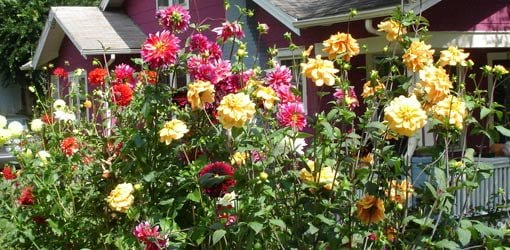 How To Grow Dahlias In Your Garden Today S Homeowner