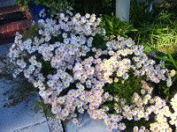 Hardy, white perennial mums