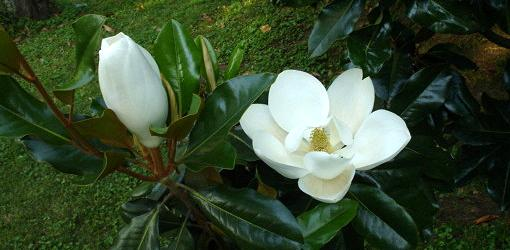 Southern Magnolia Tree