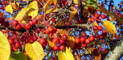 Crabapple fruit on branches