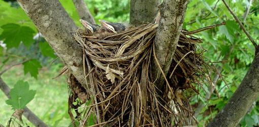 Baby robins in a nest of soft grass