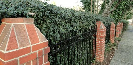Holly hedge backed by fence and with brick columns