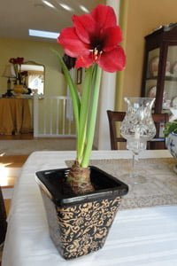 Amaryllis bulb blooming in pot