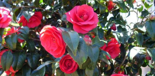 Blooming red camellia blossoms