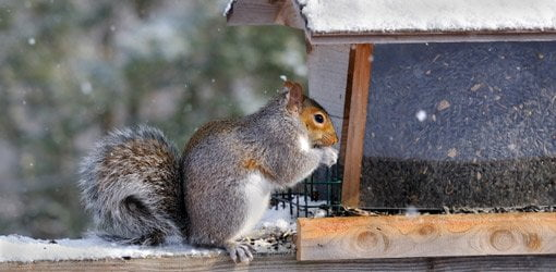 Squirrel eating a feeder