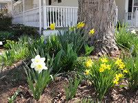 Daffodils and Spring Bulbs blooming