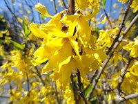 Yellow Forsythia blooming