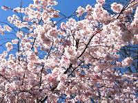 Japanese Flowering Cherry blooming