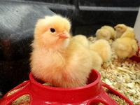 Chick in feeder