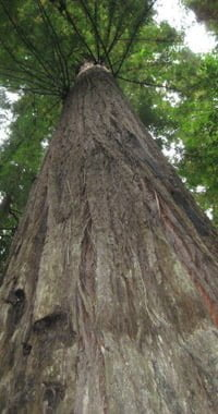 Looking up at a California redwood tree.