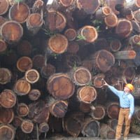 Standing with a stack of redwood logs ready to be sawn into lumber.