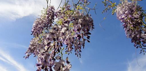 Asian wisteria blooms