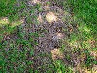Brown patch of dead grass in lawn