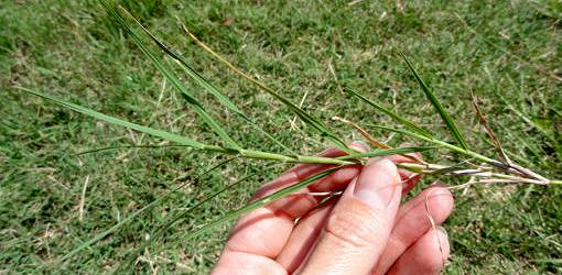 Holding a piece of wire grass