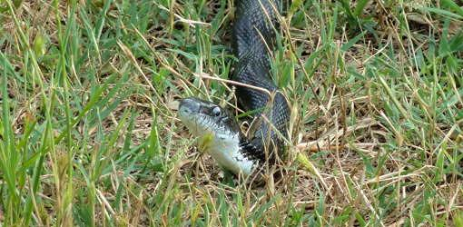 Black snake with head raised