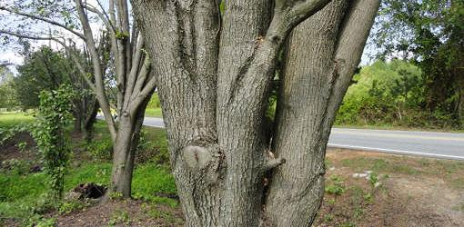 Tight vertical branches on trees like bradford pears are prone to