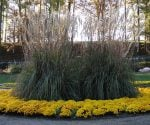 How to Grow Ornamental Grasses in Your Yard