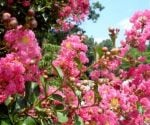 How to Grow Crape Myrtles in Cold Climates
