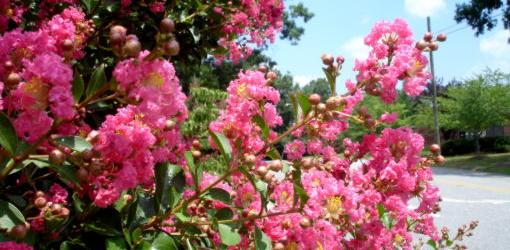 How To Grow Crape Myrtles In Cold Climates Today S Homeowner