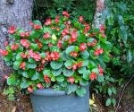 How To Grow Begonias Indoors During the Winter