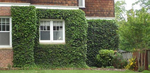 Growing Ivy And Other Climbing Vines On Old Brick Masonry