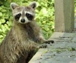 How to Protect Your Home from Raccoon Damage