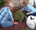 Danny Lipford and Julie Day Jones planting azalea shrub.