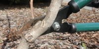 Pruning crape myrtle to thin branches.
