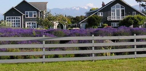 Field of flowering purple lavender growing in front of house.
