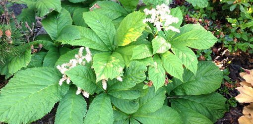 Rodgersia plants with green, serrated leaves and clumps of white flowers.