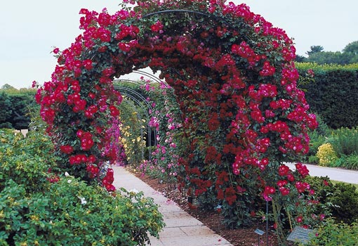 Arbor covered in climbing roses.