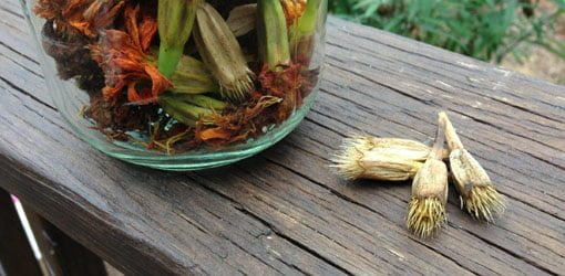 Dried marigold seed heads on wood board next to glass jar full of seed heads.