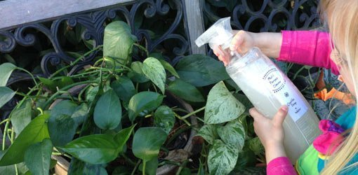 Spray both sides of the leaves to kill any insects.