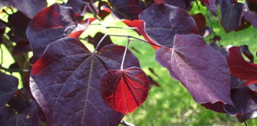 Red leaves on forest pansy redbud.
