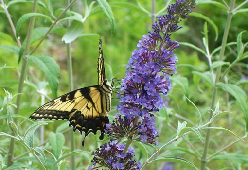 The Many Varieties Of Butterfly Bush Are Perfect For A Butterfly Garden.