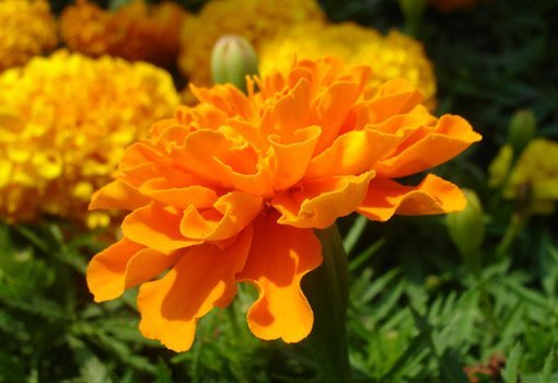 Orange and yellow marigold flowers.